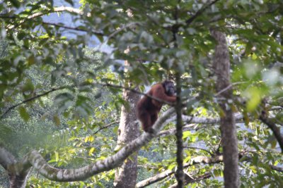 Welcome to Danum Valley: The king of the jungle watches us from a huge tree.