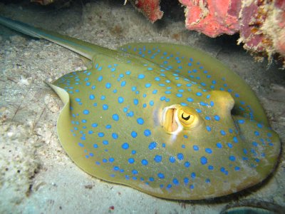 Blue Spotted Ribbon Tail Ray