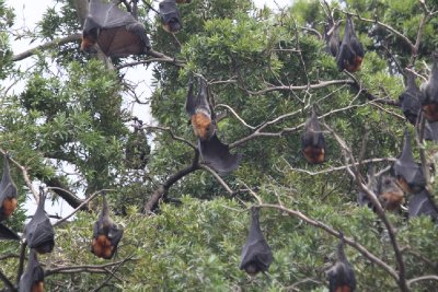 Flying Foxes!!!!
