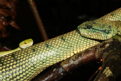 Male (small) and female (large) Waglers pitviper