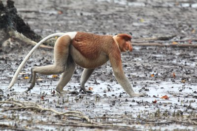 Adult Male Probosis Monkey