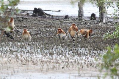 Proboscis monkeys in the mangrove.