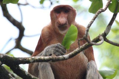 Adult Male Proboscis Monkey