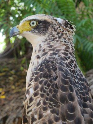 Amazing hawk! (Captive)