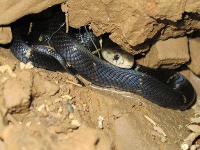 We think it's a juvenile cobra!!!!
