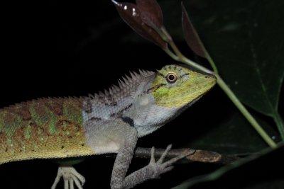 Cool tree lizard.