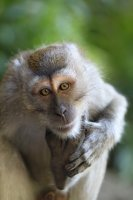 Longtail Macaque....