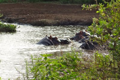 Hippos on golden pond