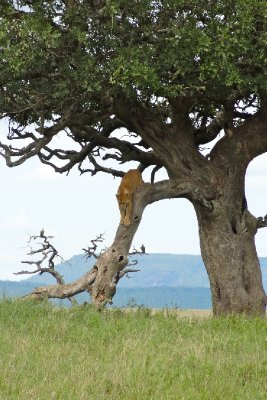Lion down the tree