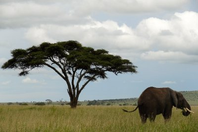 Elephant on the plains