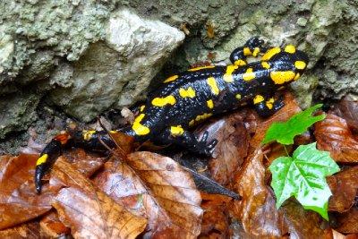 Salzburg Salamander