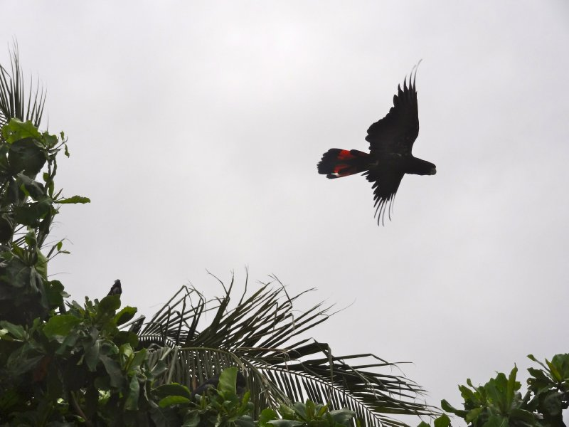 Flying Black Parrot
