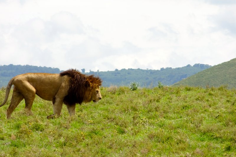 King of the Serengeti