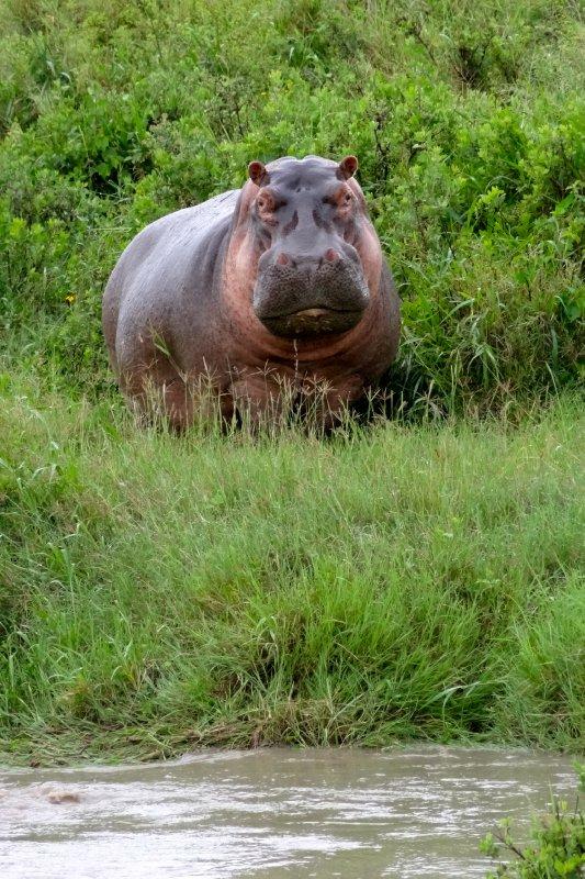 Hippo stare down