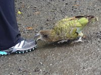 Parrot after a toe