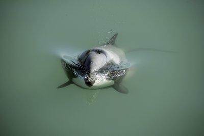 Dolphin_jpg (1)