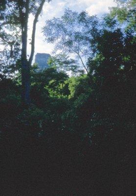 Mayan temple looming up through the Peten jungle.