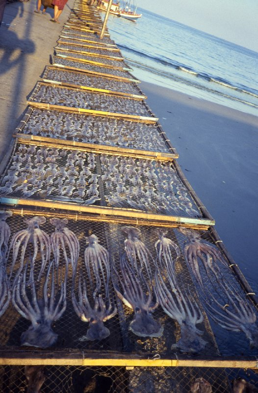 Drying squid