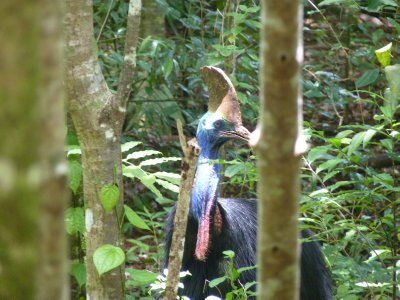 Southern Cassowary in Daintree rainforest