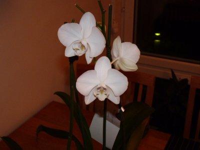 Orkidé före