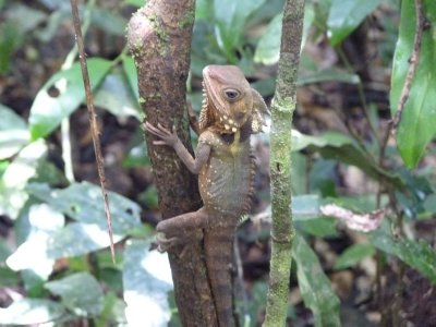 Water Dragon in Daintree Rainforest