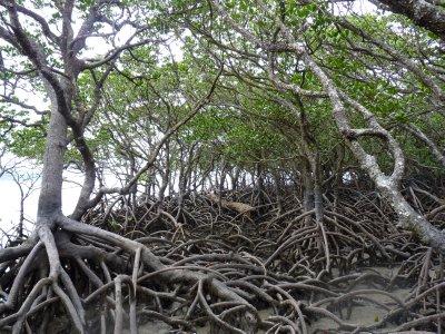 Mangrove trees at Cape Tribulation