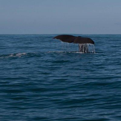 Sperm Whale Goodbye (2)