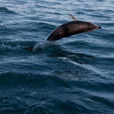 Dolphin Jump (1)