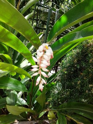 Ginger flower at the hacienda