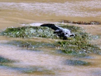 baby crocodile in the mangroves