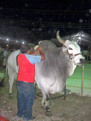 a bull for rides at the fair ground