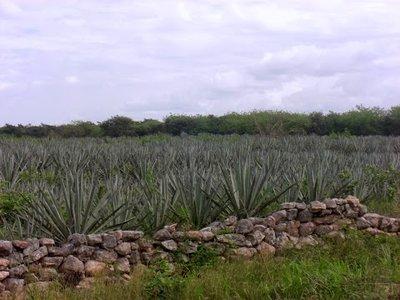a field of henequen or sisal