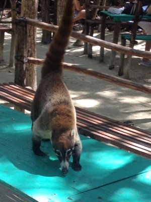 coatimundi that was so cute