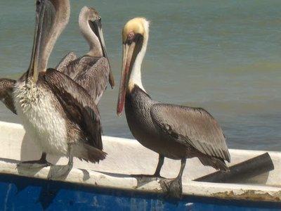 red beaked pelican