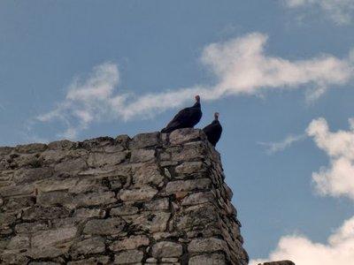 turkey vultures at Mayapan