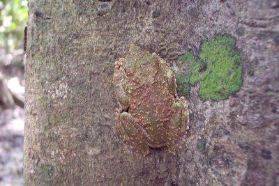 Real Tree Frog, Kinabatangan, Sabah
