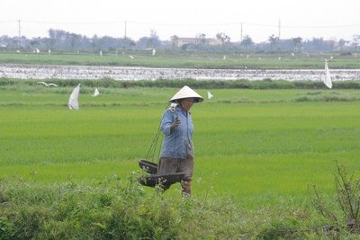 Some of the rice paddy fields surrounding Hoi An