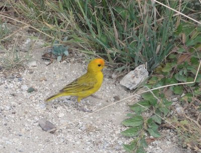 Orange Fronted Yellow Finch