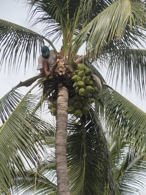 Trimming the coconuts