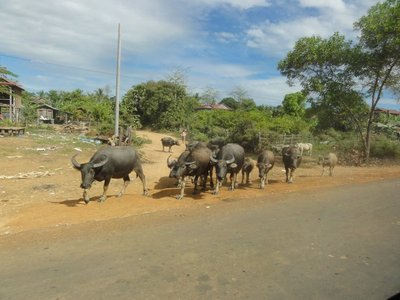 Water buffalo crossing the road