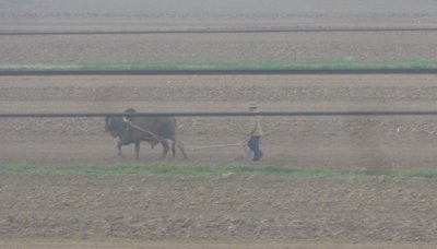 Farmer plowing with water buffalo
