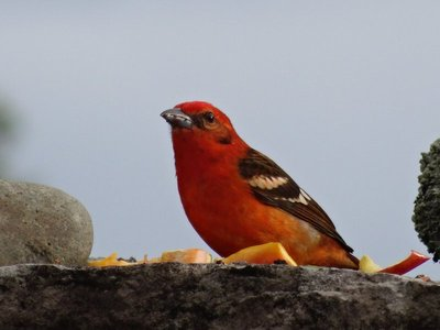 Flame colored tanager