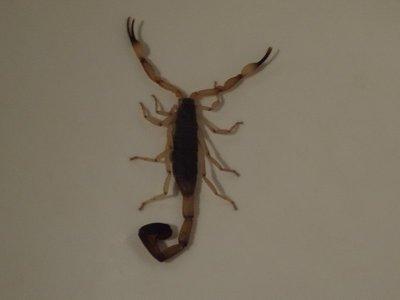 Scorpion in the sink