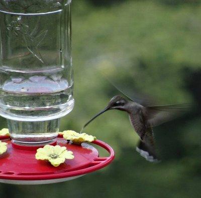Plain-capped Starthroat Hummingbird