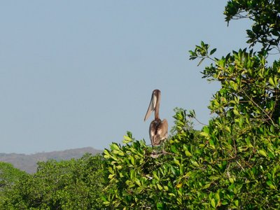 Brown pelican high in the tree