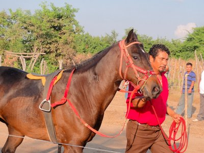 One of the race horses being paraded around