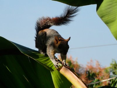 Squirrel in the palm tree in our garden