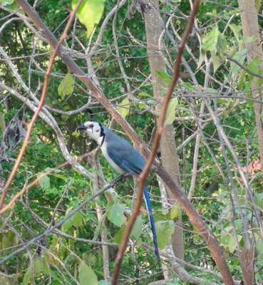 White-throated Maggie-Jay
