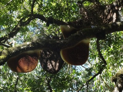 """This is called a """"Honey Tree"""", the big lumps on it are wild beehives"""
