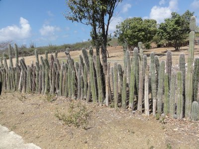 Clever cactus fence